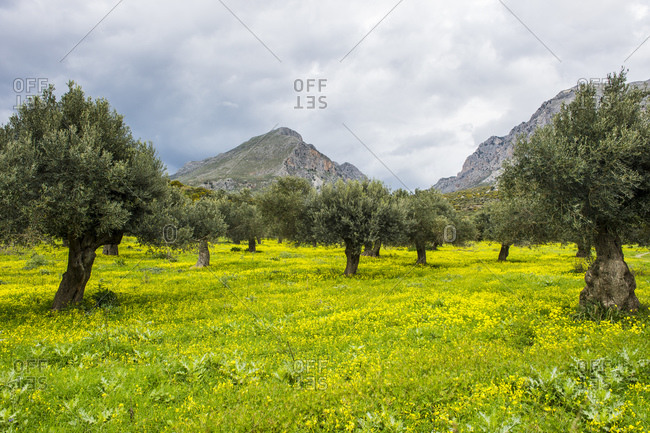 Blooming field with olive trees
