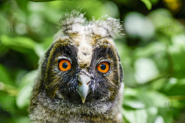 Close up of a portrait of young long-eared owl