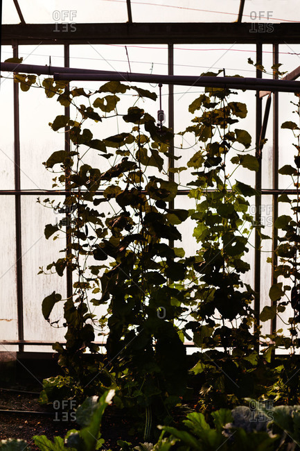 Cucumber plants growing up a trellis in greenhouse