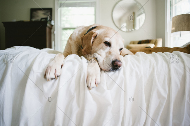 An old labrador retriever laying on a bed
