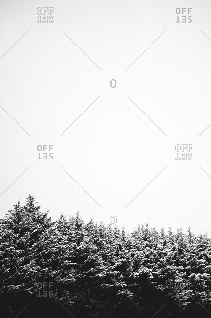 Snow-covered tree tops
