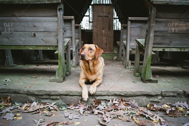 A labrador retriever sits in an outdoor church