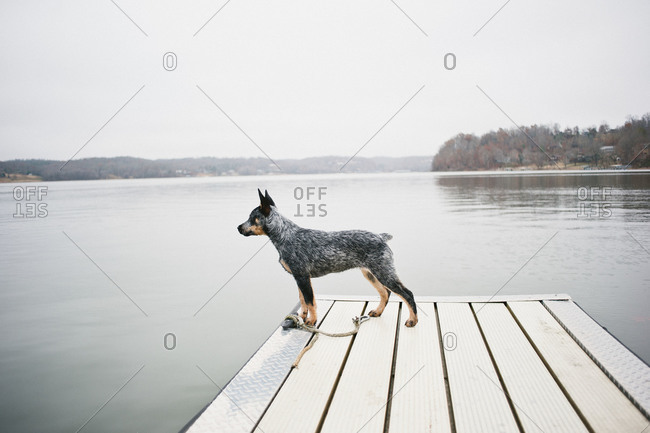 A dog stands at attention on a dock