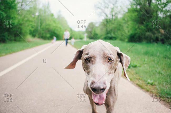 A weimaraner stands on a path
