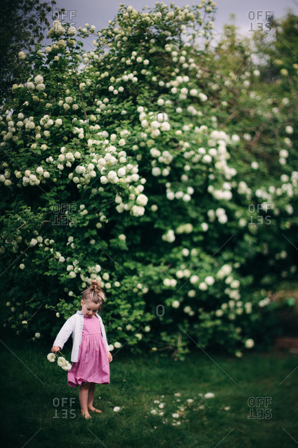 Young girl picking hydrangea flowers