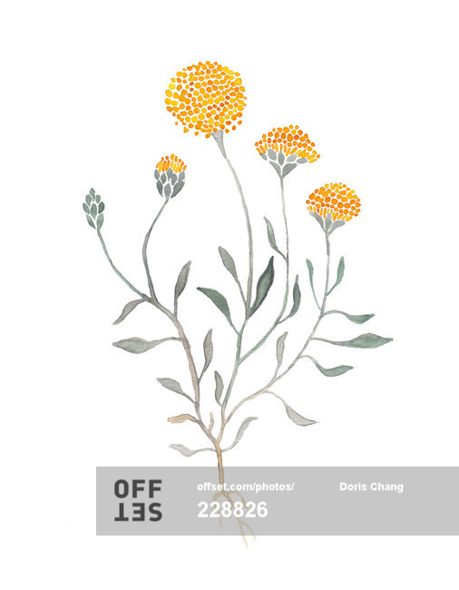 Illustration of billy buttons on black background