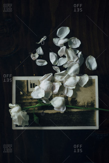 Rose and petals on an old photograph