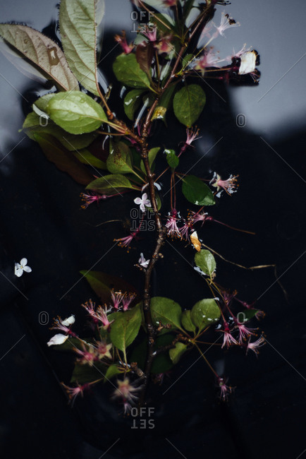 Branch with small pink flowers floating on water