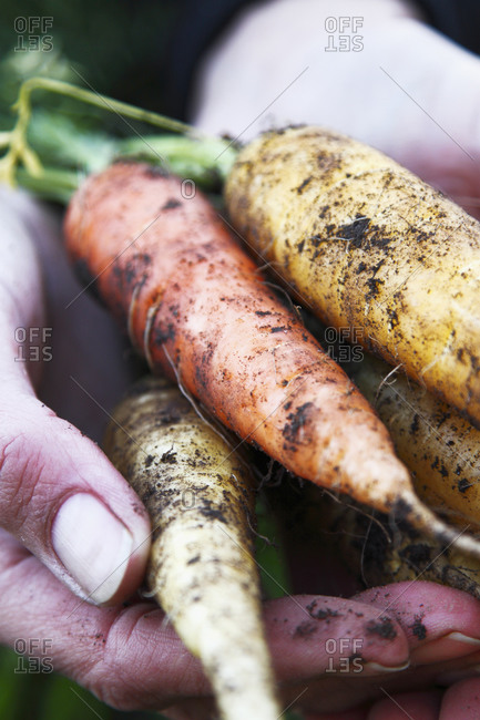 Hand hold a bunch of carrots