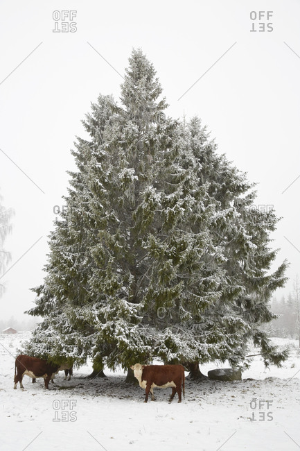 Cows by a tree in winter