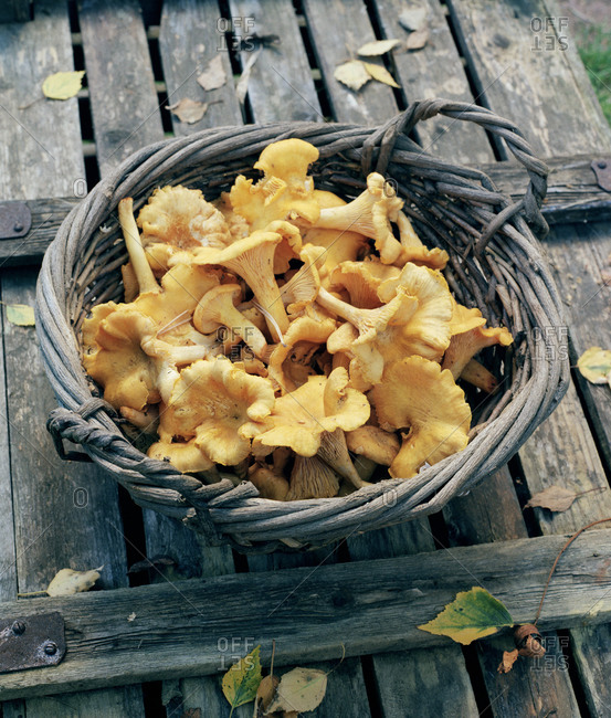 Chanterelles in basket - Offset Collection