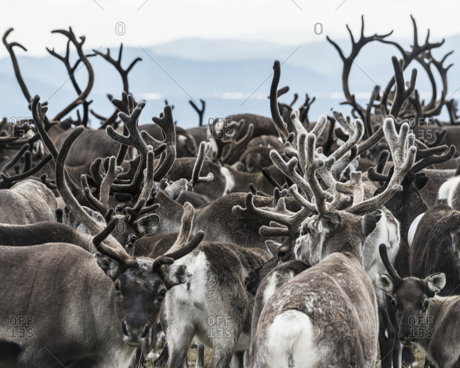 Group of reindeer - Offset Collection