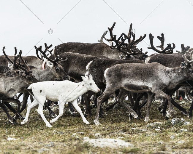 White fawn in a herd of reindeer