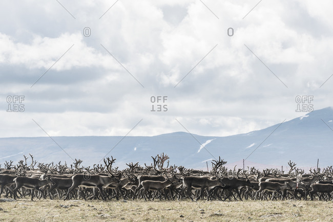 Herd of reindeer at the base of a mountain