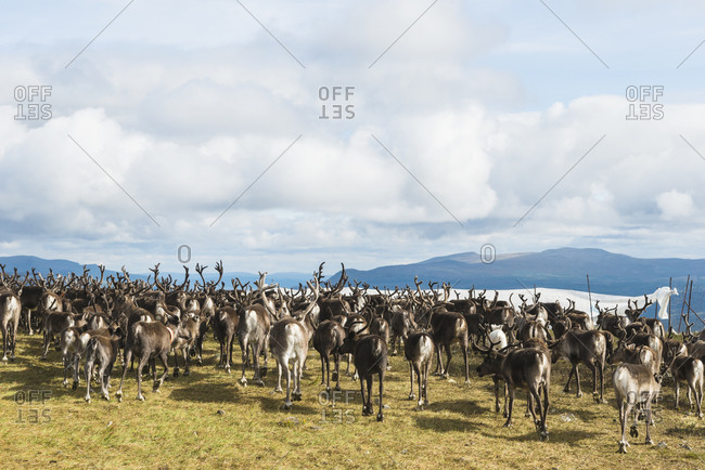 Herd of reindeer on a plateau