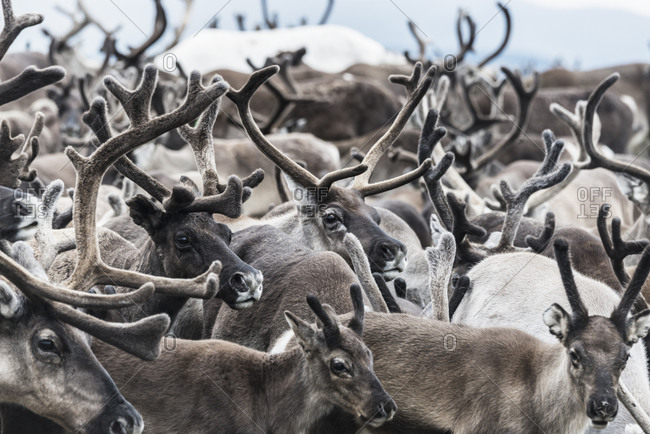 Close up of a herd of reindeer