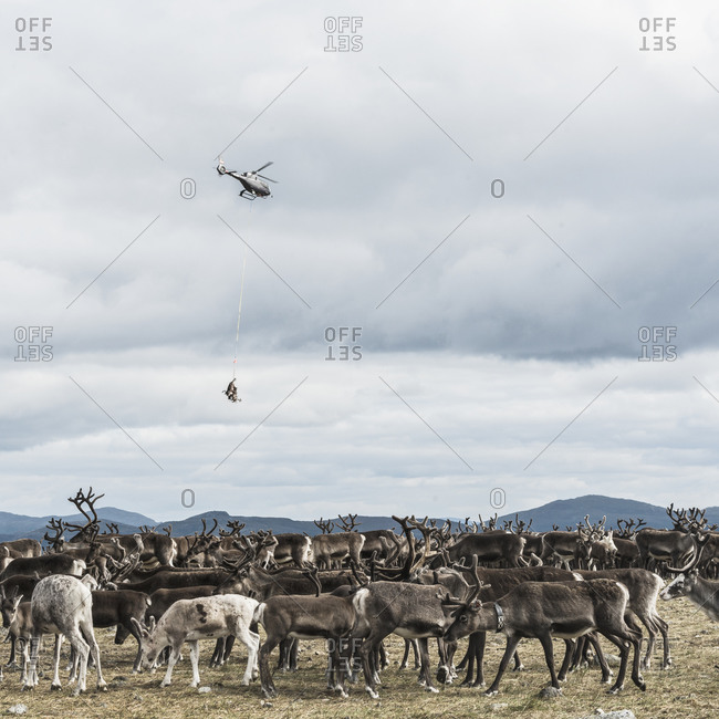 Helicopter above a herd of reindeer
