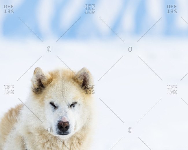 White dog in snowy landscape