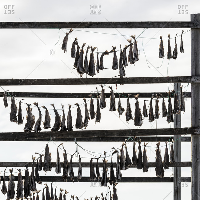 Fish drying on strings - Offset