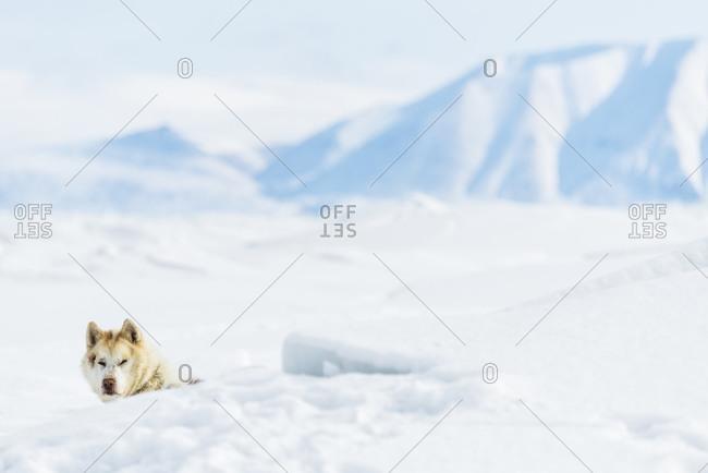 Dog hiding snowy landscape