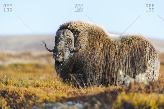 Large musk ox on meadow