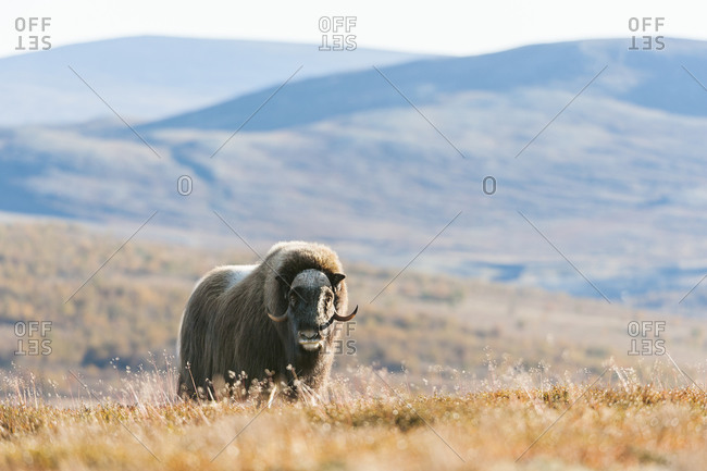 Musk ox on meadow