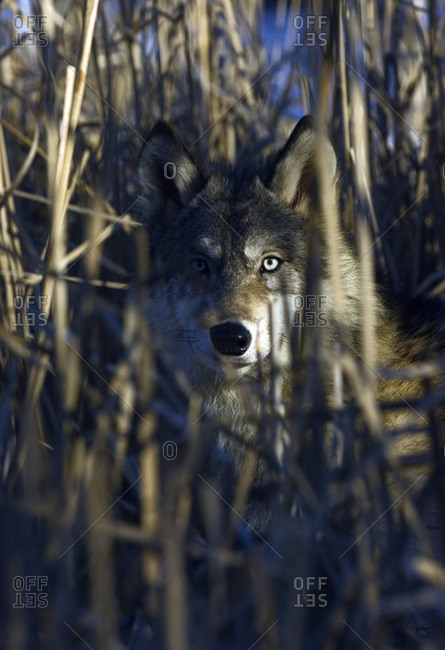 A wolf peering through cat tails in Minnesota