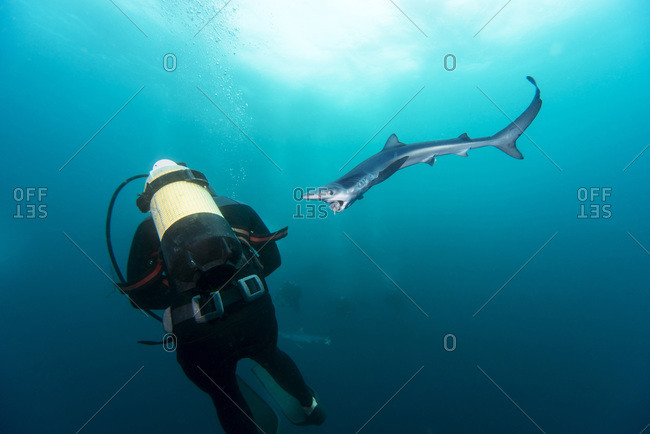 Diver and blue shark