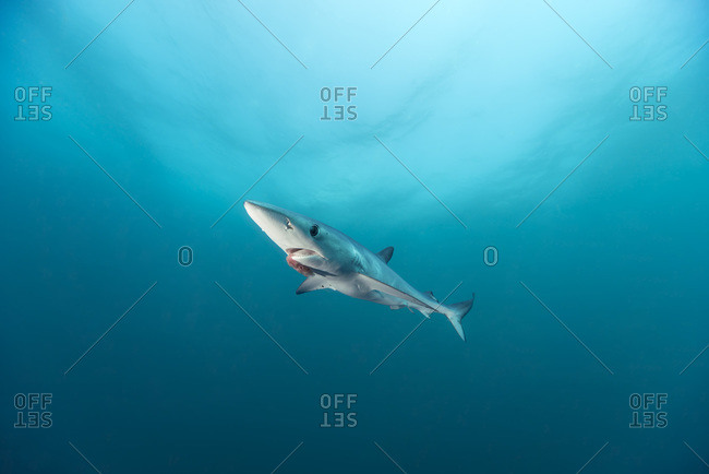 Blue shark, Prionace glauca - Offset