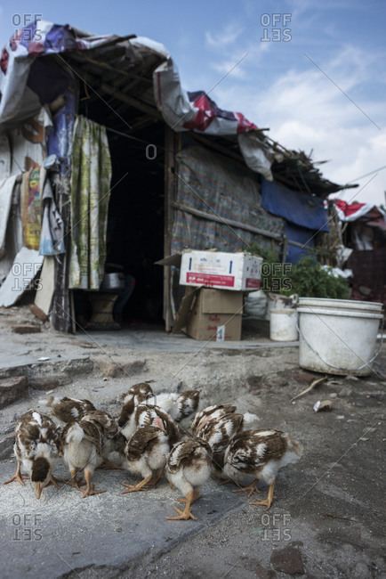 A group of baby geese outside of a shack in the slum in Kathmandu