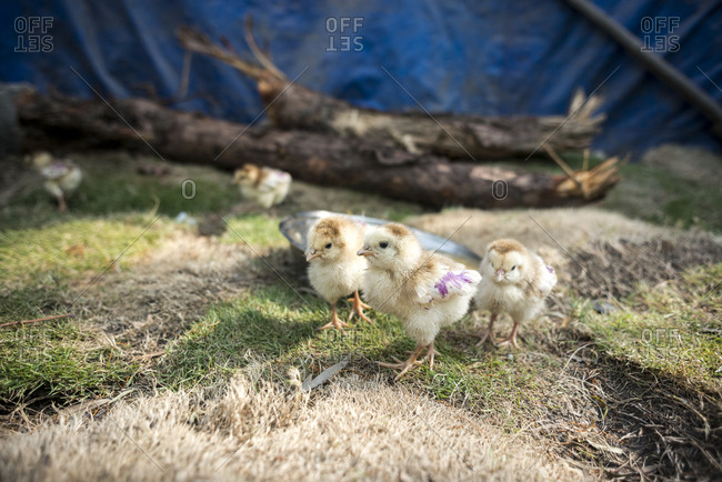 Baby chickens in the slums of Thapathali, Kathmandu, Nepal