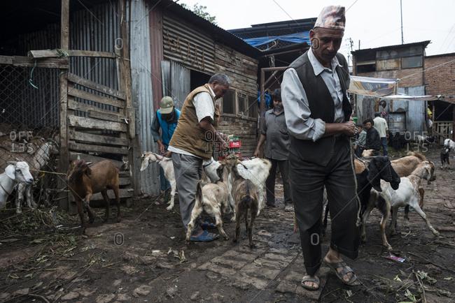 Kathmandu, Nepal - May 27, 2014: Men herd goats in the street of a town in Kathmandu