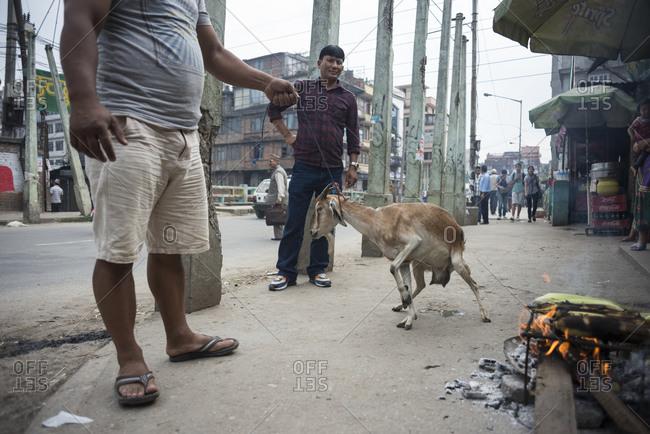 Kathmandu, Nepal - June 3, 2014: A man pulls a goat down a city street