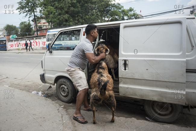 Kathmandu, Nepal - June 3, 2014: A man loads goats in a van