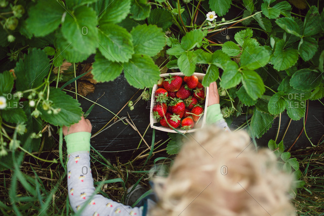 Child with a pint of strawberries in a garden