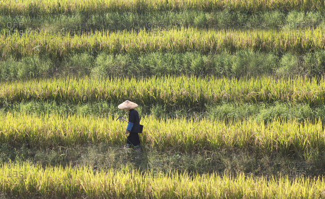 Farmer walking through rice fields in Guilin, China