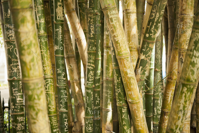 Close up of scribbled bamboo groves