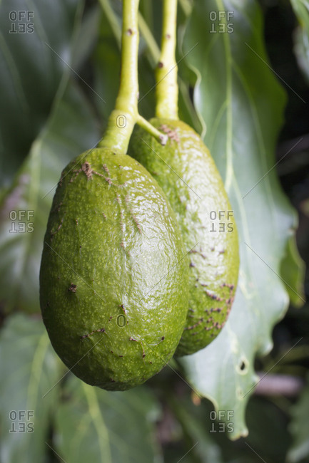 Two avocados hanging from tree