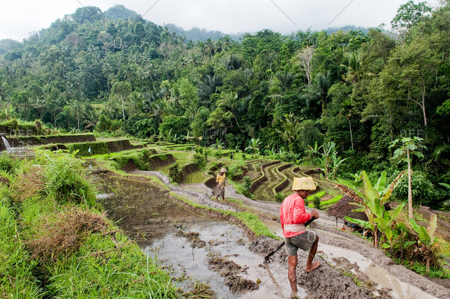 Bali, Indonesia - May 29, 2015: A man sowing rice in paddy field
