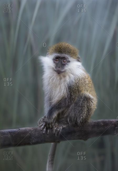 Young vervet monkey on branch