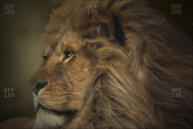 Close up of lion's face