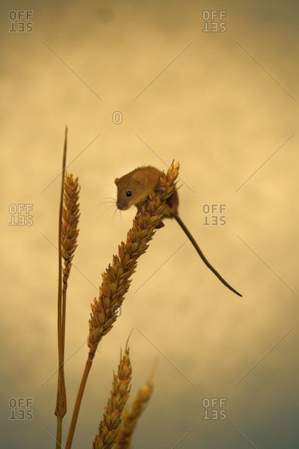Little mouse perched atop wheat stalk