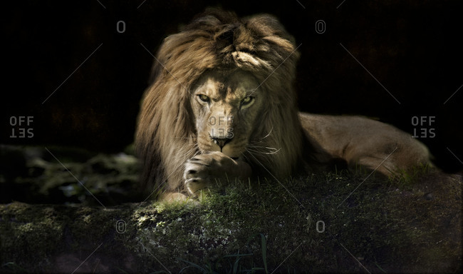 Male lion cleaning his paws