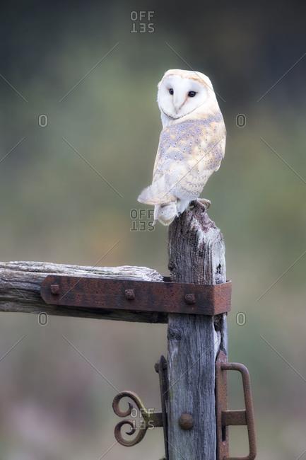 White owl on fence post