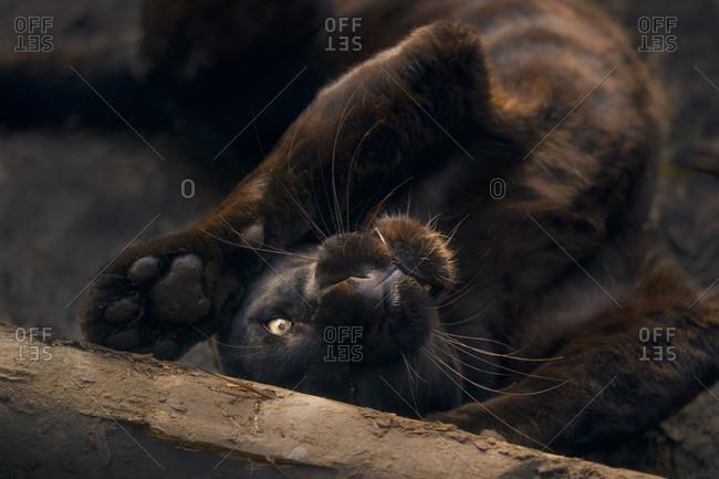 Leopard rolling around on ground