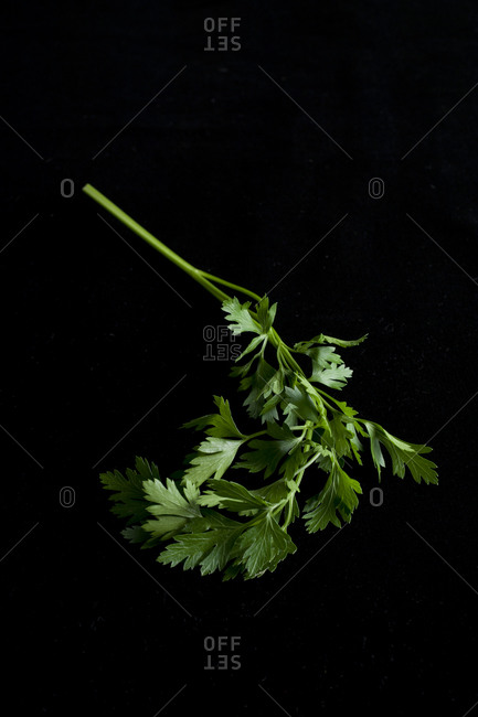Italian flat leaf parsley on black background