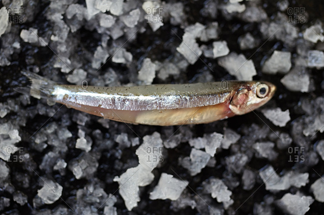 Anchovy resting on sea salt