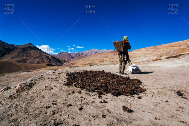 Woman collecting dried cow dung in Indian Himalayas