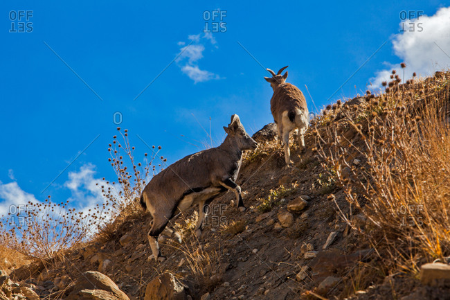 Blue sheep in mountains of Spiti, Himachal Pradesh, India