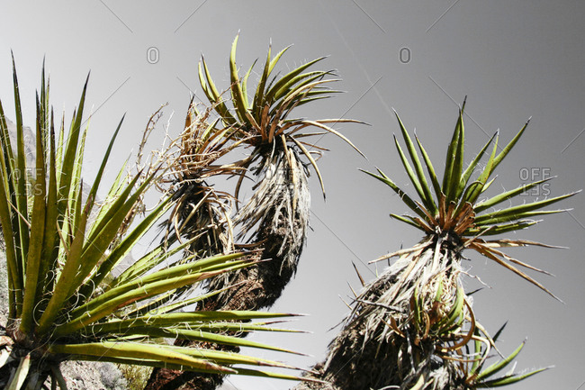 Yucca plants in the Mojave Desert, Nevada
